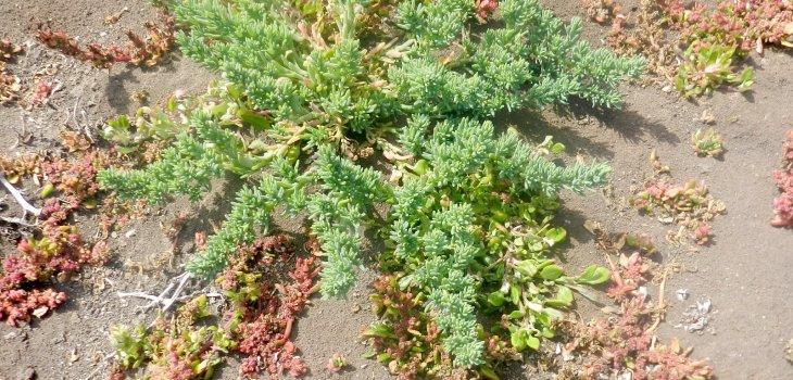 Hallazgo de planta ayuda a entender efectos del cambio climático en la región de Valparaíso