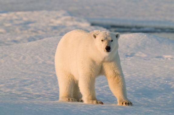 Además del cambio climático ahora los osos polares también sufren por la contaminación