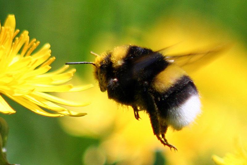 """Cambio Climático: El abejorro chileno se acerca a la categoría """"en peligro crítico de extinción"""""""