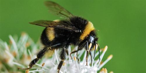 Decrecen las especies de abejorros al no poder adaptarse al cambio climático