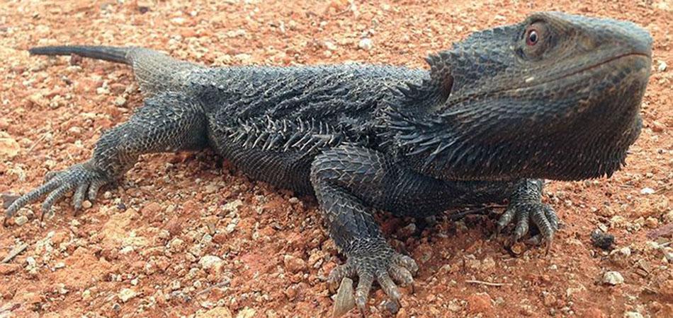 Cambio climático obliga a cambio de sexo de dragones barbudos