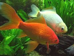 Identifican genes que permiten a peces adaptarse al Cambio Climático