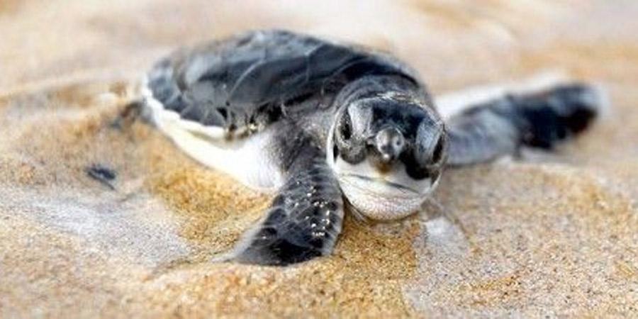 Cambio climático amenaza la población de tortugas marinas, según estudio