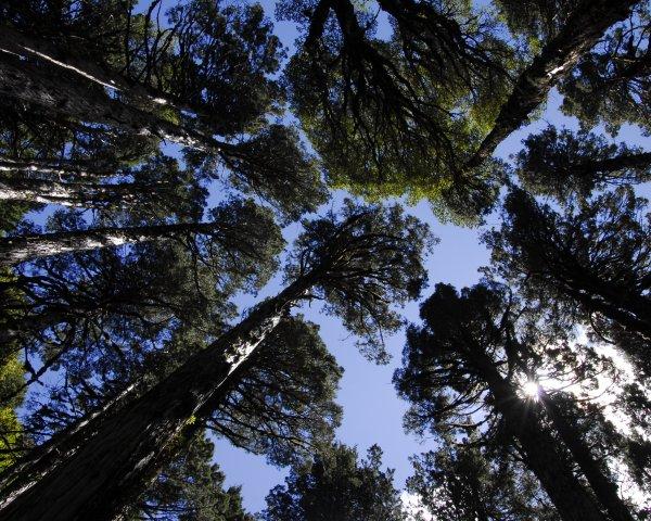 Cambio climático afecta crecimiento de alerces en Chile