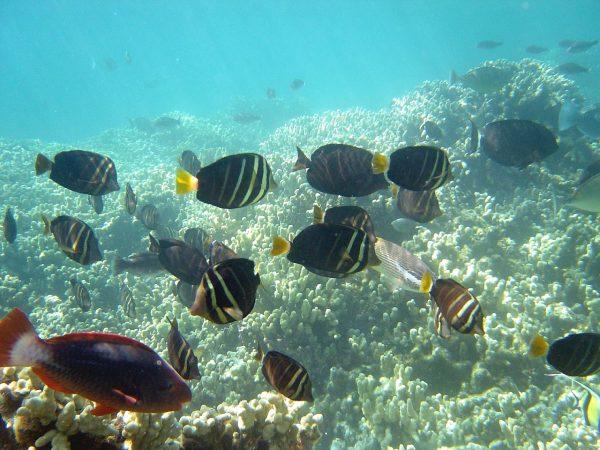 """Descubren peces que combaten el calentamiento global """"imaginando"""" que siempre es de noche"""